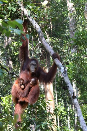 orangutan Photo tours Borneo